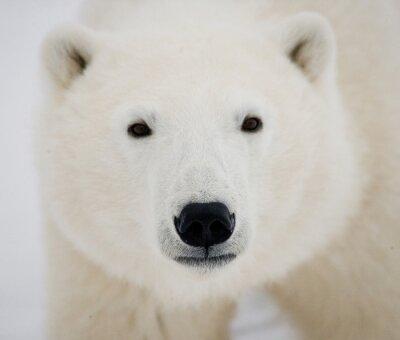 Cuadro Retrato de un oso polar. De cerca. Canadá. Una excelente ilustración.