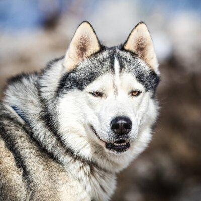 Cuadro Retrato de un perro de trineo, perro husky