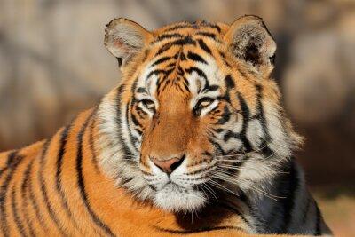Cuadro Retrato de un tigre de Bengala (bengalensis del tigris del Panthera).