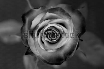 Cuadro Rosa. Rosa decorativa en blanco y negro. Elegante flor romántica.