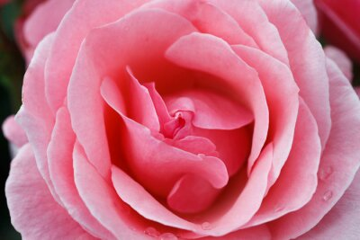 Cuadro Rosa rosada