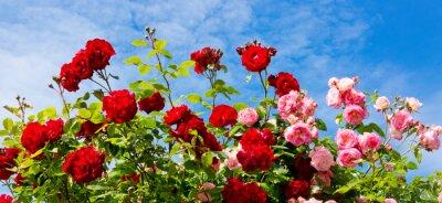 Cuadro Rosas rojas y rosadas que suben.