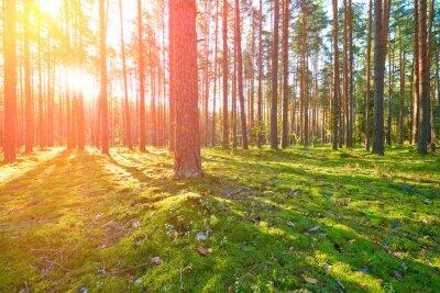 Cuadro Salida del sol en el bosque de pinos