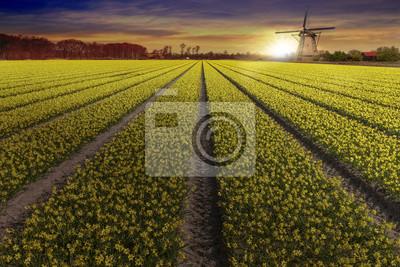 Salida del sol en la granja amarilla narciso bulbo en Lisse y Hilligome ciudad holandesa