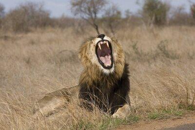 Cuadro salvaje león macho enorme en el monte