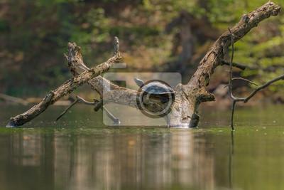 Schmuckschildkröte (Trachemys) fauna en Brandenburgo