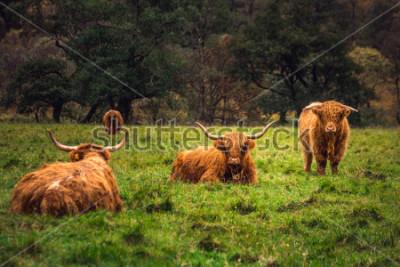 Cuadro Scottish Highland Cow en el campus con mucho cuidado y pelo largo, Escocia.