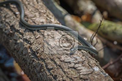 Serpiente de hierba (Natrix natrix)