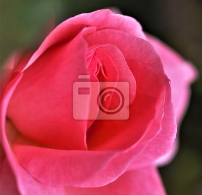 rosa vagina immagini