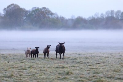 sheep family on foggy pasture in morning