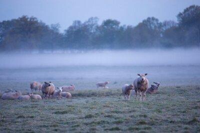 sheep herd in morning fog