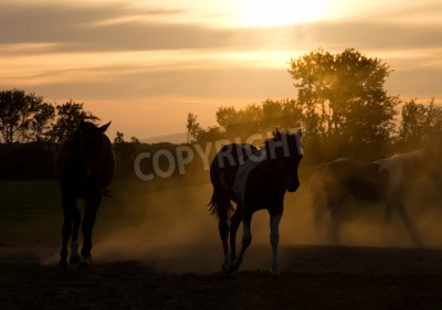Cuadro Silhoutte horses playing in the Netherlands at sunset