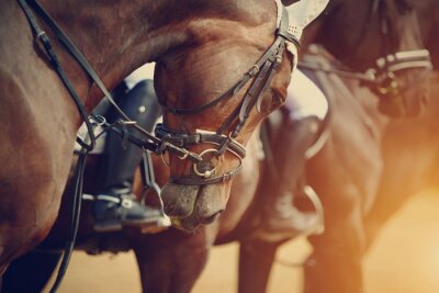Cuadro Sports brown horses before competitions.
