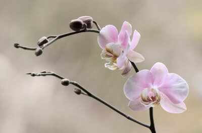 Cuadro Storczyk - Orchidea