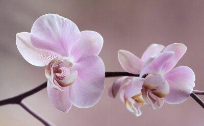 Cuadro Storczyki - Orchidea