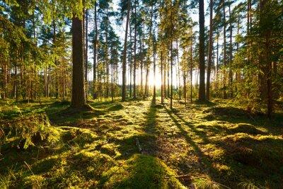 Cuadro Sunrise in pine forest