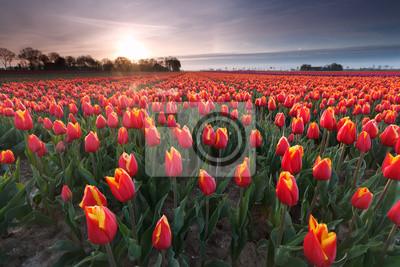 sunrise over red tulip field