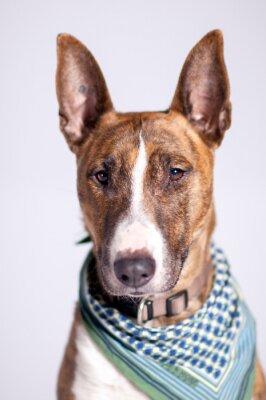 Cuadro süßer Hund mit Halstuch schaut am Betrachter vorbei
