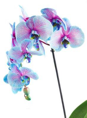 Cuadro Tallo de orquídeas azules