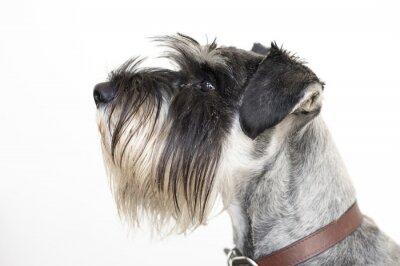 Cuadro The wise Schnauzer dog