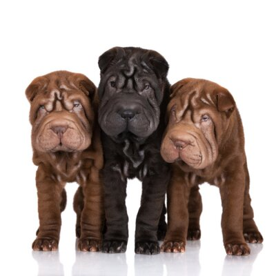 Cuadro three shar-pei puppies on white