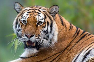 Cuadro Tiger
