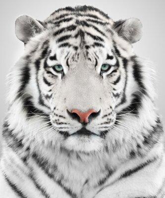 Cuadro Tigre blanco