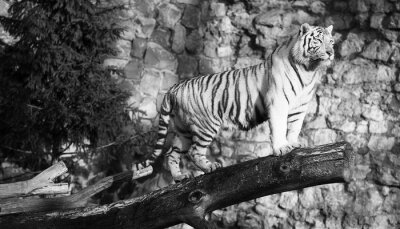 Cuadro Tigre blanco que se coloca en un registro encima de una abertura (en blanco y negro, estilo de la vendimia)