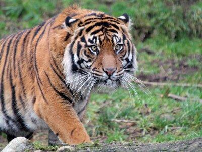 Cuadro Tigre de Sumatra