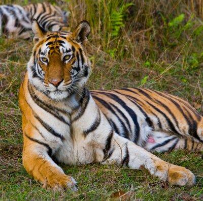 Cuadro Tigre salvaje que miente en la hierba. India. Bandhavgarh Parque Nacional. Madhya Pradesh. Una excelente ilustración.