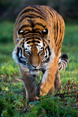 Cuadro Tigre siberiano