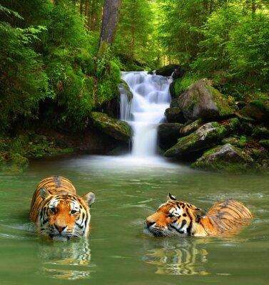 Cuadro Tigres siberianos en el agua