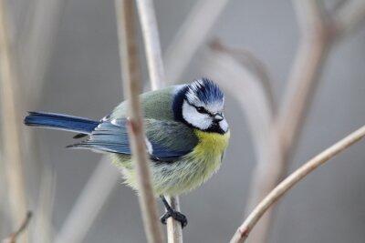 Cuadro Tit azul (Parus caeruleus)