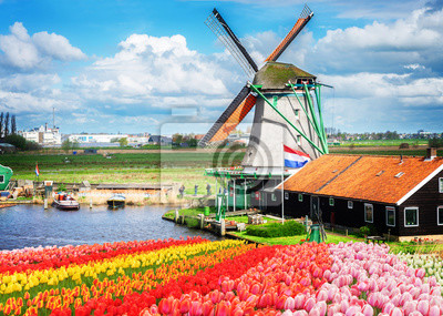 Tradicional, holandés, molino de viento, rojo, rosa, amarillo, tulipanes, filas, Países