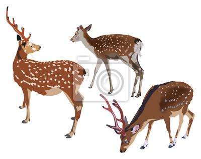 tres ciervos sika aislados