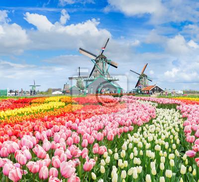 tres molinos de viento holandeses tradicionales de Zaanse Schans y filas de tulipanes, Países Bajos