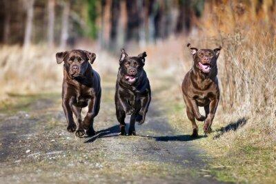 Cuadro Tres perros felices corriendo juntos