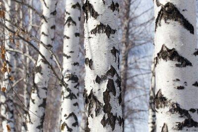 Cuadro tronco de abedul en la naturaleza