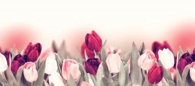 Cuadro Tulip colorful flower panoramic border on white