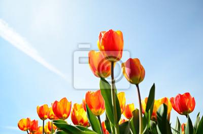 Tulipanes, desde un punto de vista bajo