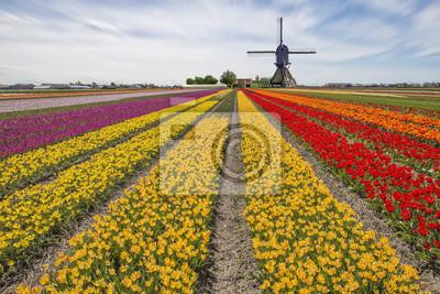 Tulipanes granja bombilla contra un molino de viento en Lisse, Holanda