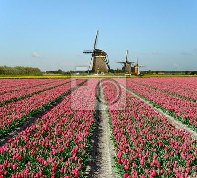 Tulipanes y molinos de viento en Holanda
