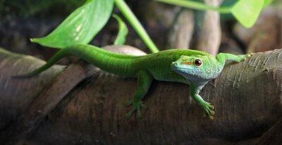 Cuadro Un Gecko verde, posado en una rama