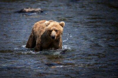 Cuadro Un oso marrón de Alaska atraviesa el río Brooks en busca de salmón.