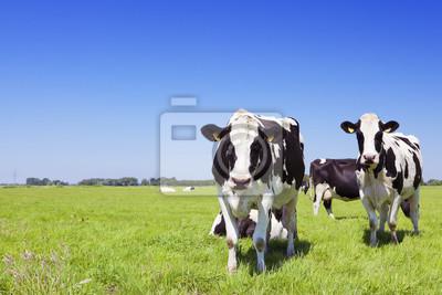 Vacas en un campo de hierba fresca en un día claro