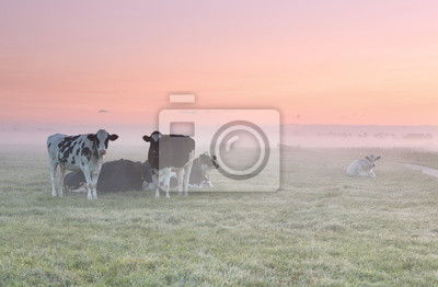 vacas relajadas en pasto brumoso al amanecer