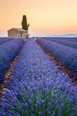Cuadro Valensole, Provenza, Francia. Campo de lavanda llena de flores de color púrpura