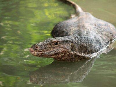 Cuadro Varanus salvaje en el agua, el foco en el ojo varanus.