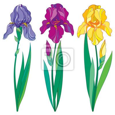 Vector Conjunto Con Contorno Purpura Lila Y Amarillo Iris Flor