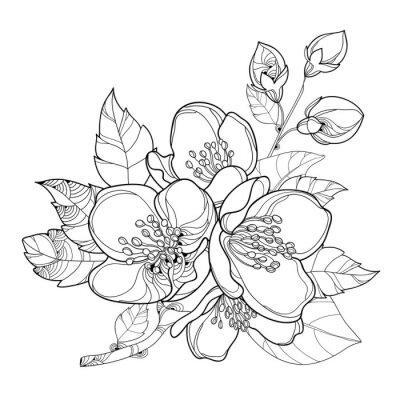 Vector rama con contorno flores de jazmín, yema y hojas aisladas ...